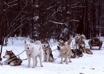 Где можно покататься на собачьих упряжках: все центры ездовых собак в Москве и области, цены на катание